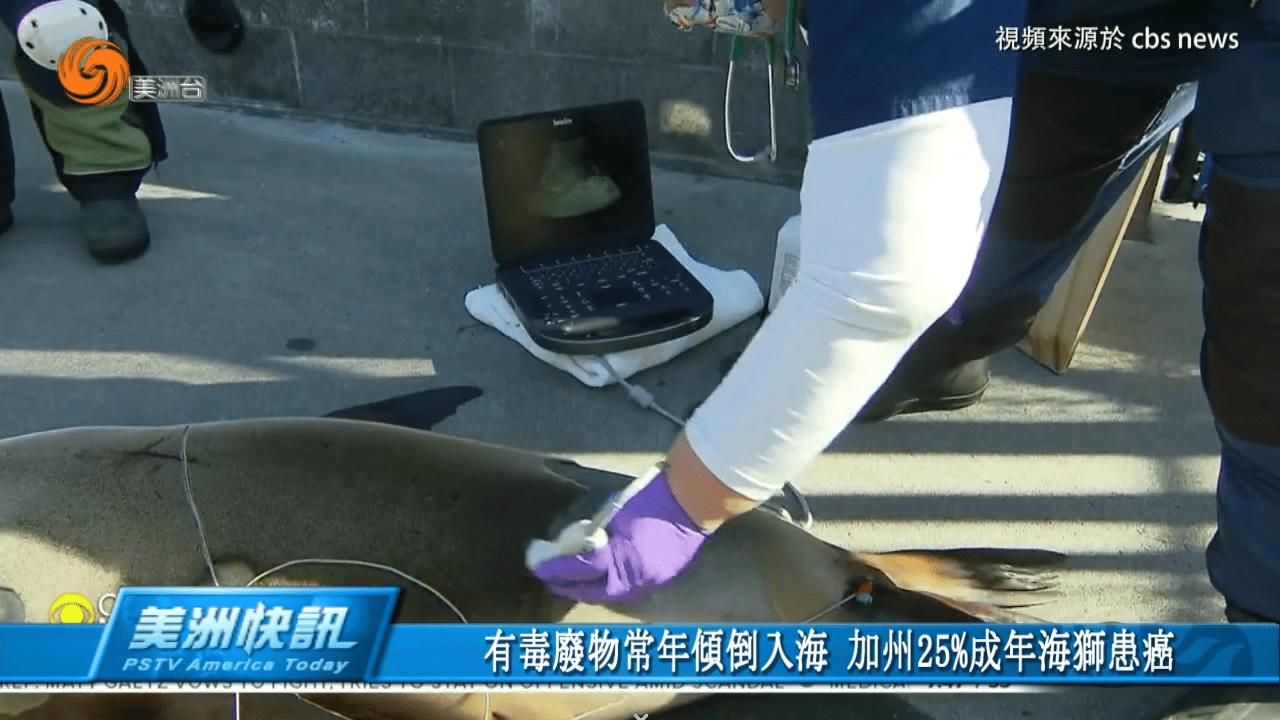 有毒廢物常年傾倒入海 加州25%成年海獅患癌